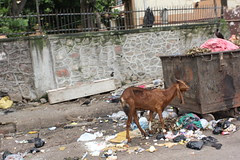 Goats In Bandra Only Eat Plastic.. by firoze shakir photographerno1