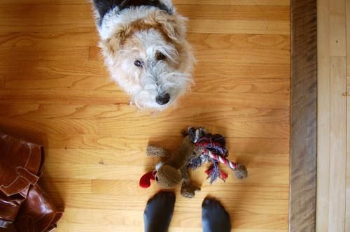 curious terrier
