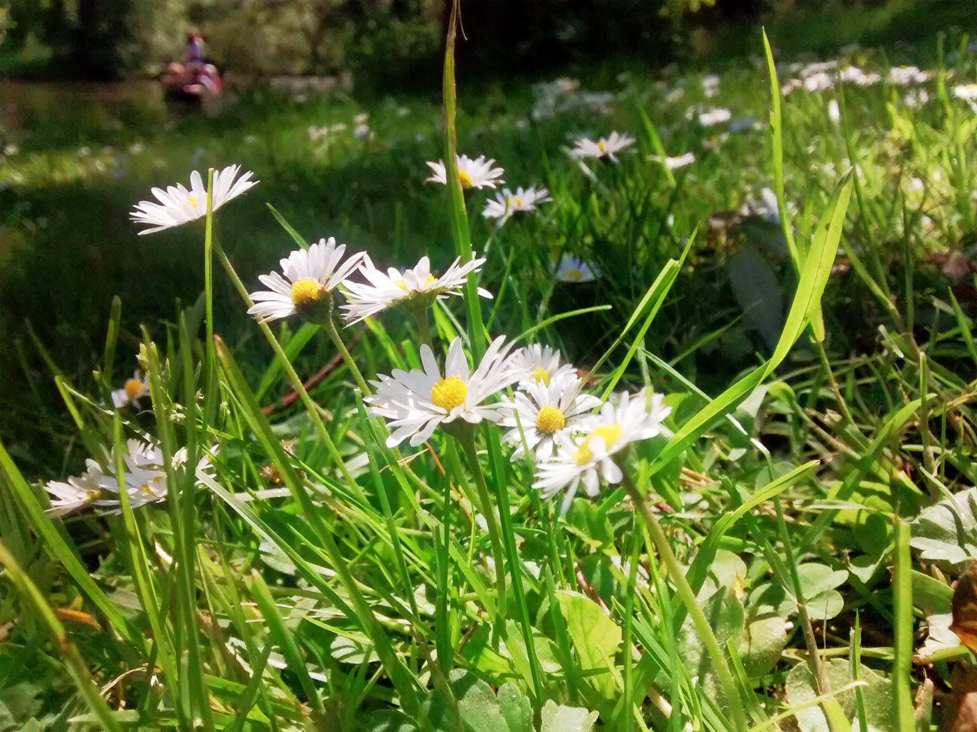 University Park daisies