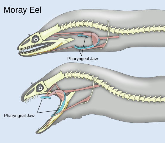 moray eel second jaw