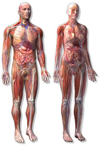 PLEXUS body-anatomy