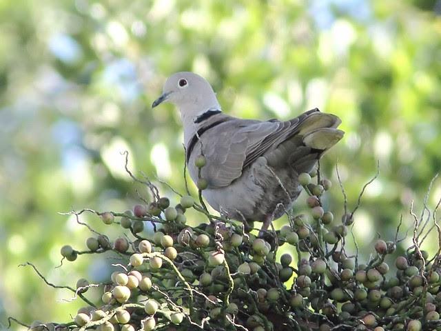 Eurasian Collared-Dove 2-20130524