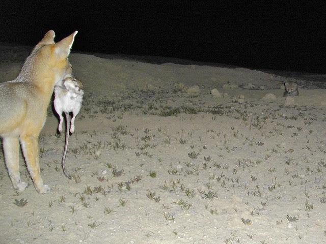 kit fox w krat