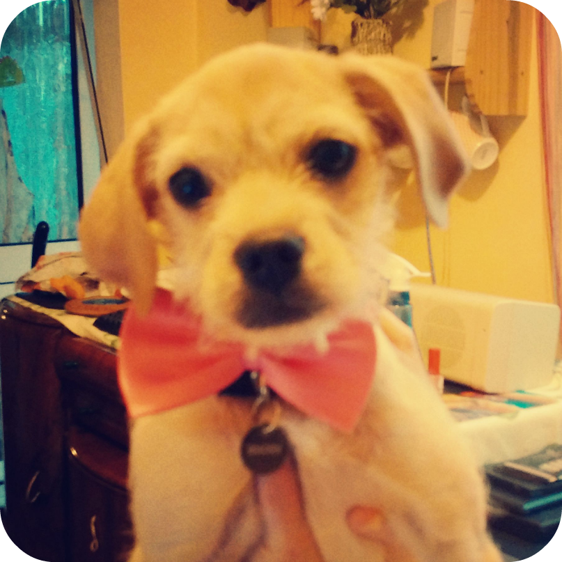 Bracken dog wearing bow tie