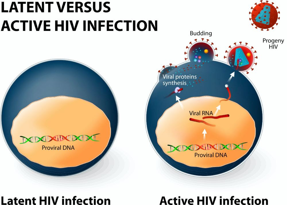 Latent infection (left) is when a cell is infected and the virus has inserted its genetic code into our human DNA. The immune system cannot detect this cell as being infected. An HIV infection can shift from latent to active if the infected cell is producing new viruses. Image credit: ttsz / Getty Images