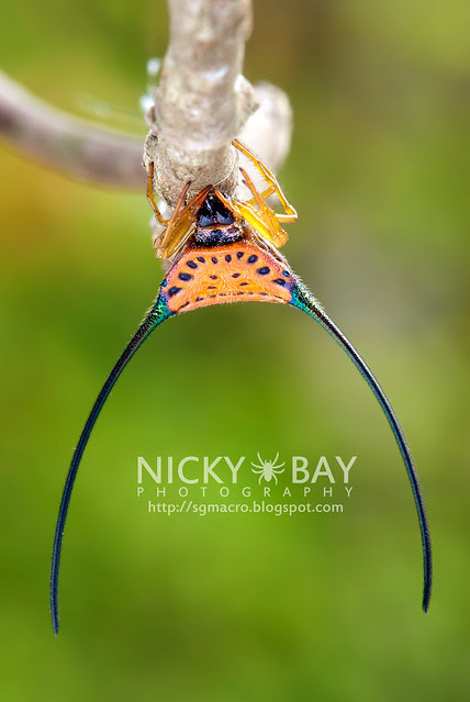 Long Horned Orb Weaver (Macracantha arcuata) - DSC_4841