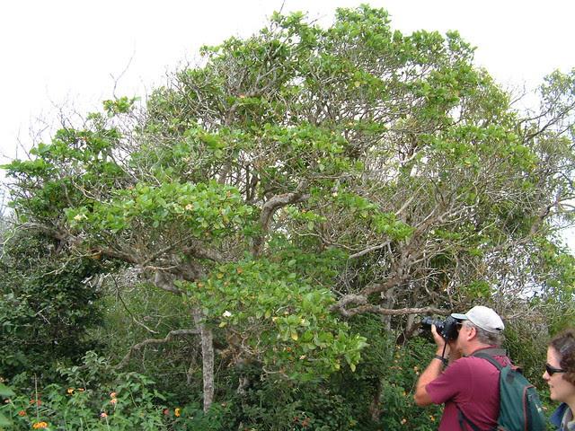 Gardenia brighamii