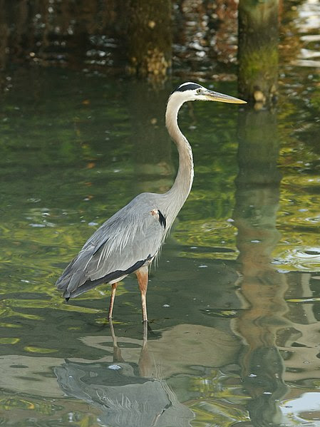 File:Ardea herodias (Fort Pierce).jpg