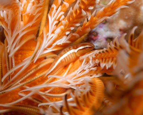 Clingfish on/amongst a Crinoid