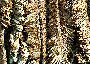 Basma tobacco leaves drying in the sun at Poma...