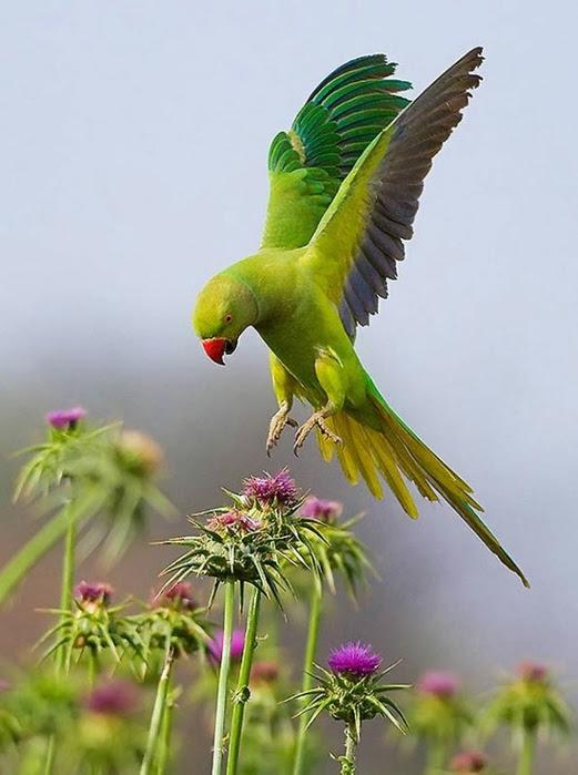 Bird_39 (521x700, 186Kb)