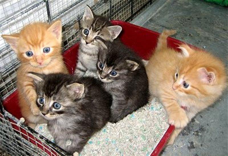 Download 92+  Gambar Kucing Persia Umur 1 Bln Paling Baru HD