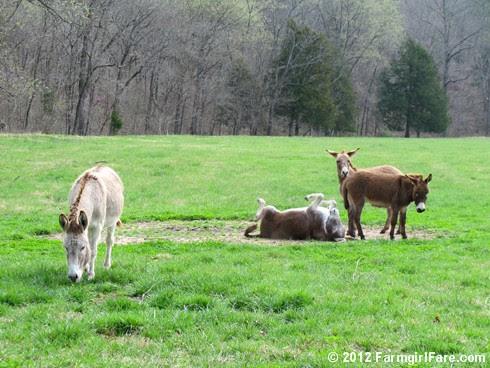 Let's roll donkeys 2 - FarmgirlFare.com