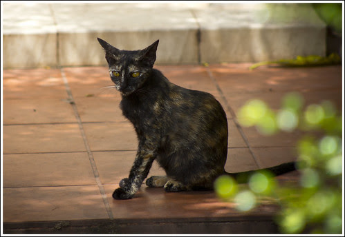 Cat at Kathu Temple