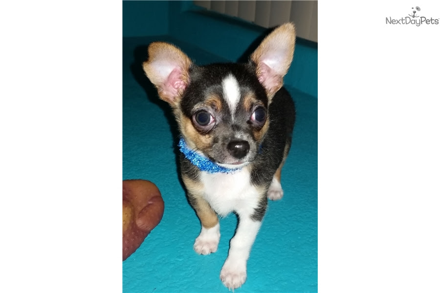 Chihuahua puppy for sale near Albuquerque, New Mexico ...
