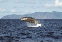 Palau is also home to at least 11 whale species, including a breeding population of sperm whales (Physeter macrocephalus), pictured above. / Credit:Frank Wirth/wikipedia