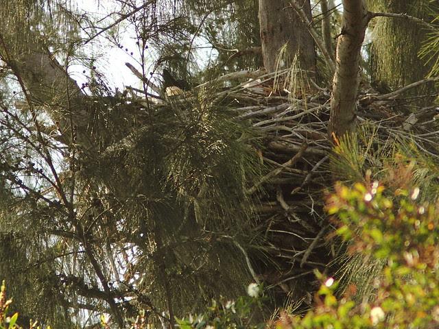 Bald Eagle incubating 20121207