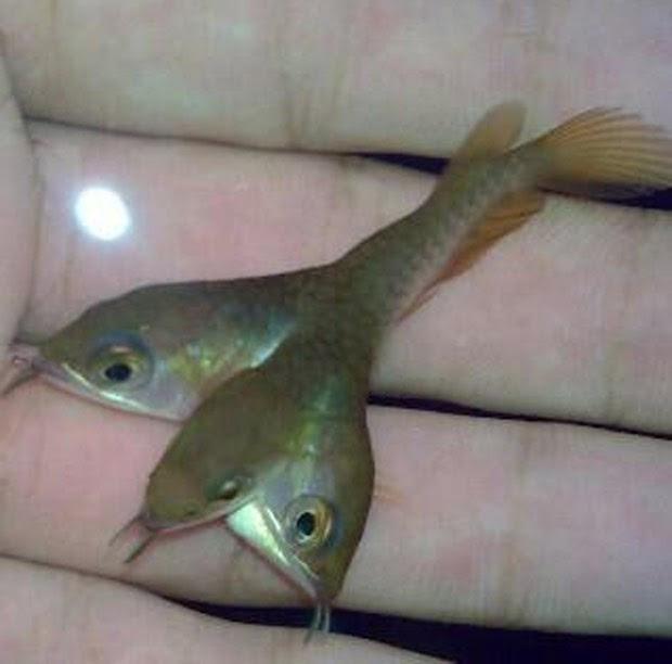 Foto de peixe aruanã-dourado que teria três cabeças provocou discussão na web (Foto: Reprodução/Reddit/Speckz)