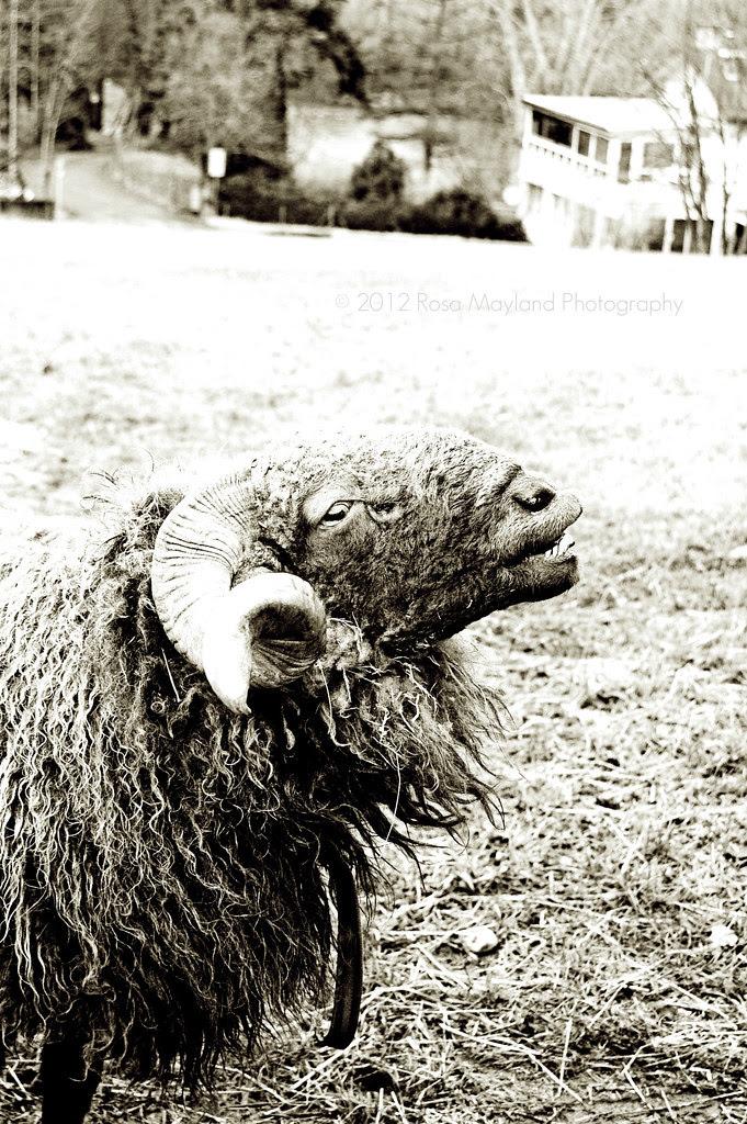 Sheep 1 4 bis