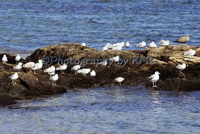many gulls standing on a rock at the ocean