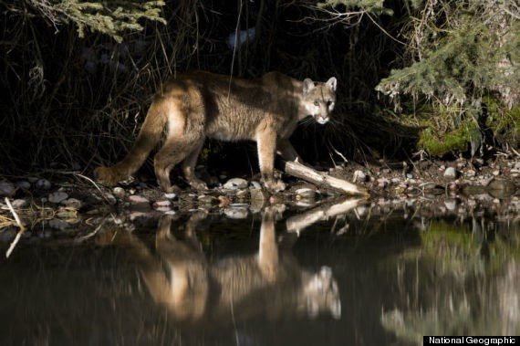 Wolves, Wolf Facts, Cougars, Cougar Facts, Coyotes, Coyote ...