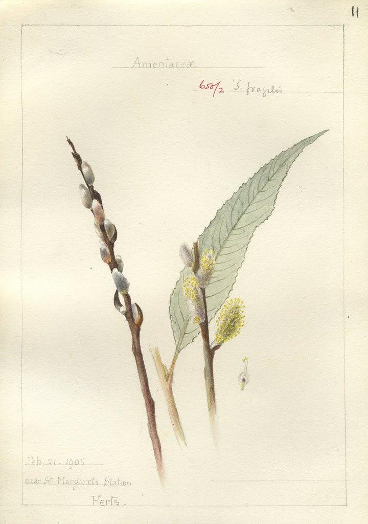 Salix fragilis, Herts. 1905