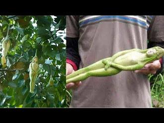 Misterioso árbol da fruto en forma de mujer en Tailandia (Explicación) 2017