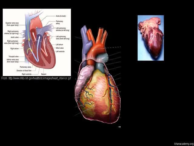 Kalp Hastalıkları Ve Kalp Krizi Izle Video Eğitim Bilişim Ağı