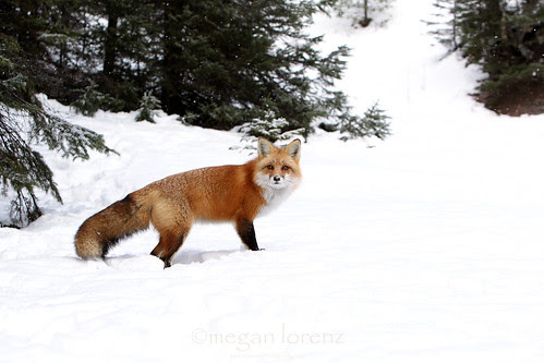 Fox by Megan Lorenz