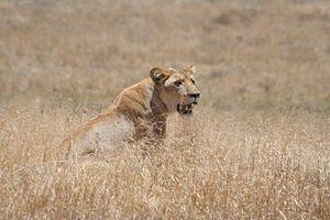 Lioness ngorongoro crater kenya