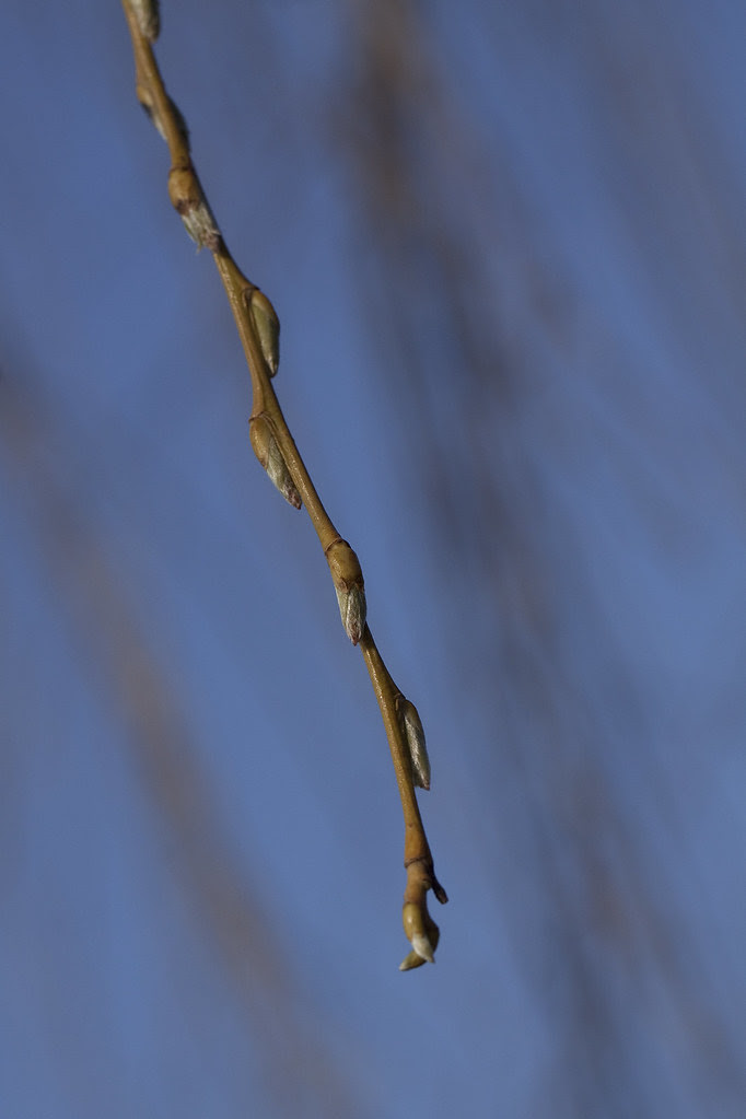 weeping willow buds
