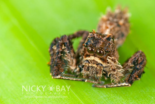 Jumping Spider (Portia sp.) - DSC_5683