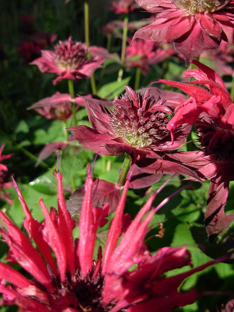47  333a/365  wordlessly celebrating Bee Balm