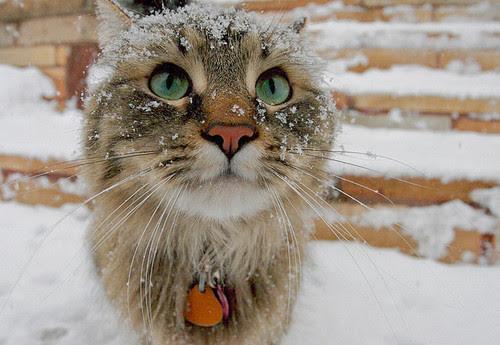 adorable, cute, fluff ball, kitty, snow