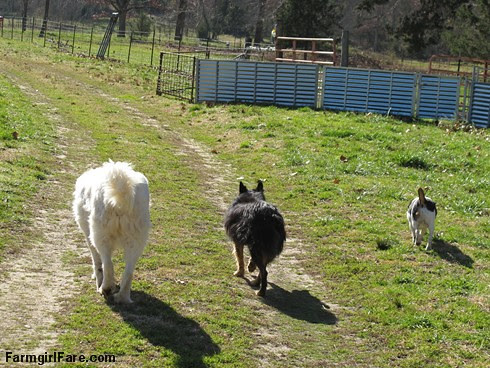 Daisy, Bear, and Bert heading down the driveway - FarmgirlFare.com