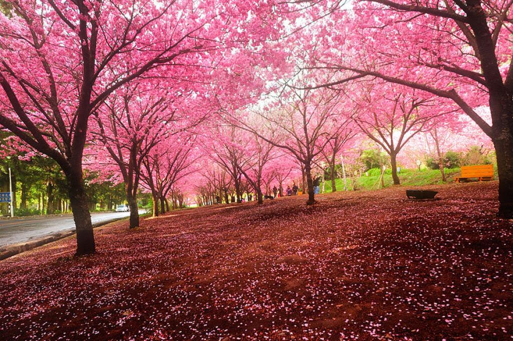 As floradas de cerejeiras mais bonitas em todo o mundo 03