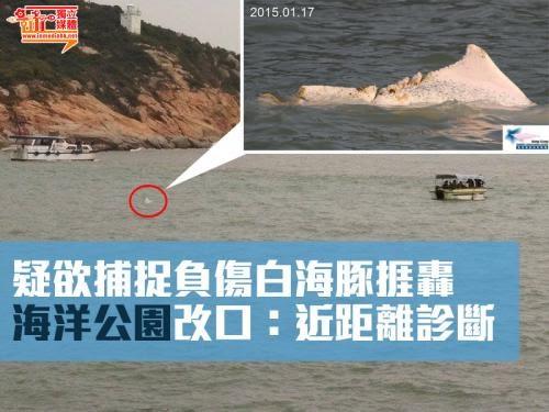 疑欲捕捉負傷白海豚捱轟 海洋公園改口:近距離診斷