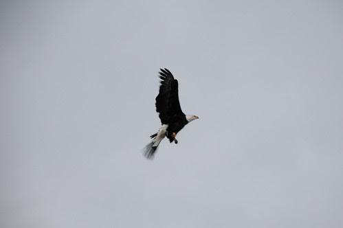 bald eagle_5568 web