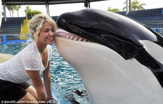 A whale of a kiss: Shakira received a kiss on the cheek from a giant killer whale as she visited the Miami Seaquarium yesterday