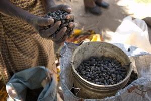 La Jatropha no ha cumplido con sus exageradas promesas, pero la próxima generación de agrocombustibles aún no ha sido desarrollada. (Foto: CIFOR)