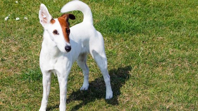 Razas de perro con carácter gruñón