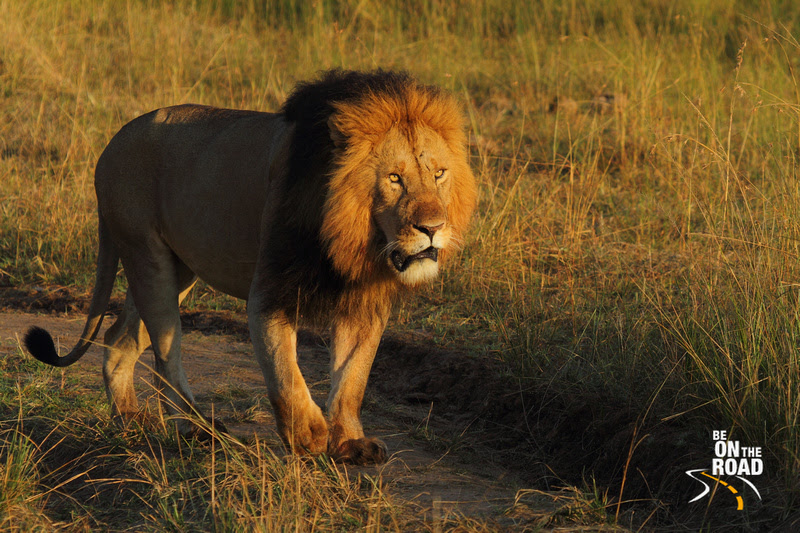 An African Lion stares into the early morning sun
