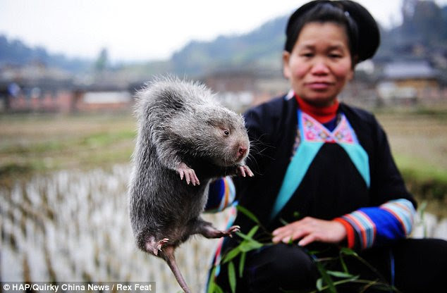 Fat rat: Shi Beidan holds up one of her specimens to the camera. She has spent months fattening it up by feeding it bamboo