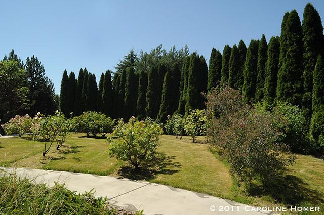 Roses & arborvitae in the Anna C. Mason garden