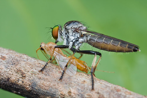 robber fly with wasp prey IMG_8528 copy