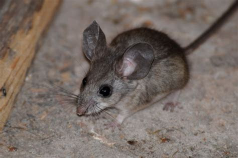 Pinyon Mouse   On the wild side of the Arkansas River valley