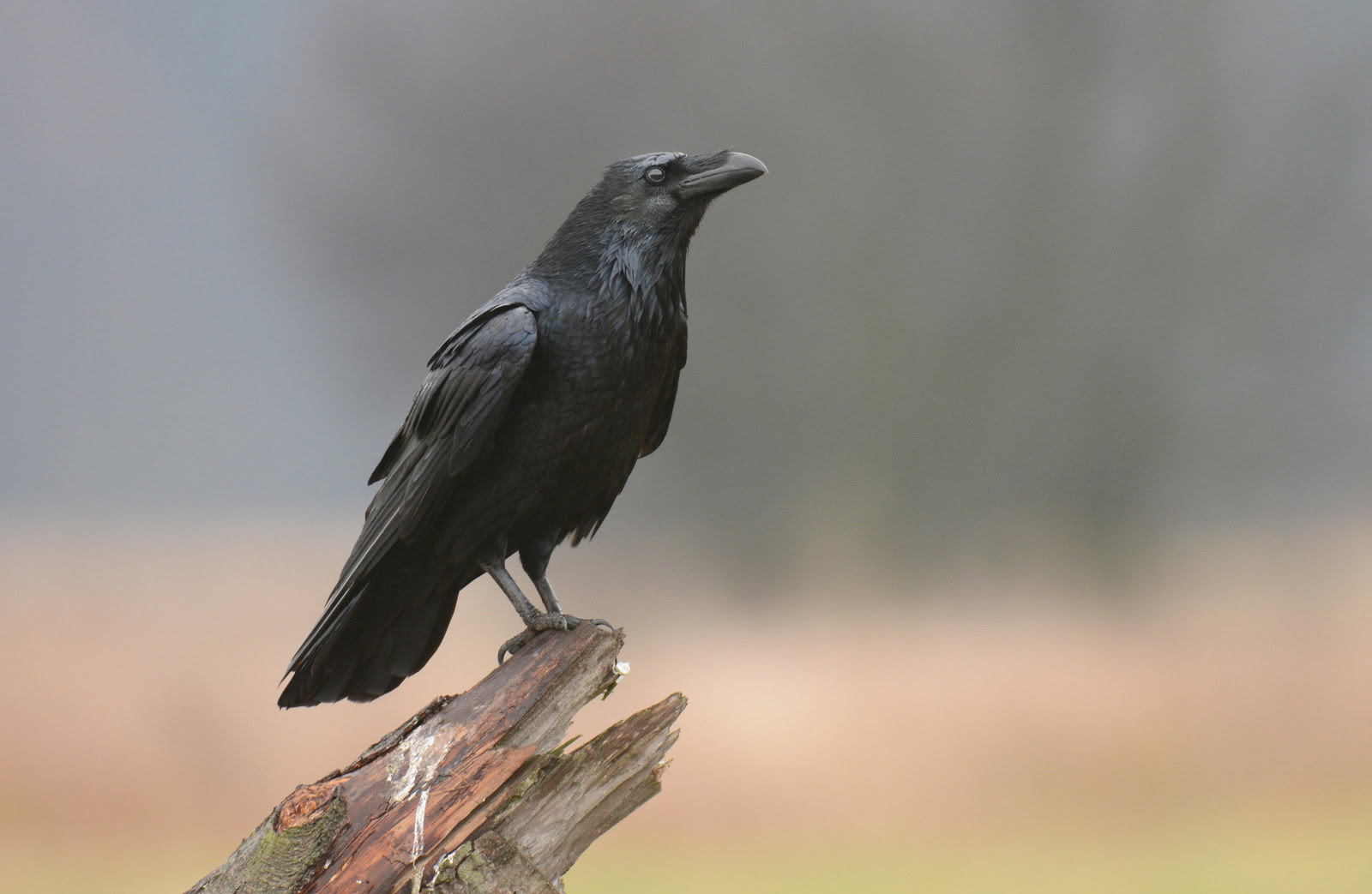 The Meaning And Symbolism Of The Word Raven