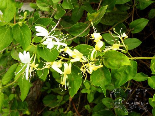 DSCN3679 Honeysuckle