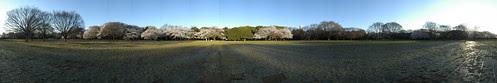 Cherry Blossom - Panorama 5
