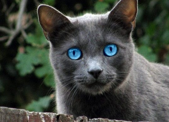 Cat Lover Cat Training Cat Breeds With Blue Eyes